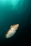 Pesci del Cuttle Fotografia Stock