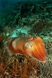 Pesci del Cuttle faccia a faccia Fotografie Stock Libere da Diritti