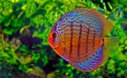 Pesci del Discus Immagini Stock