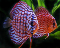 Pesci del Discus Fotografie Stock Libere da Diritti