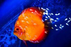 Pesci del Discus con la frittura Fotografie Stock