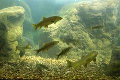 Pesci del fiume fotografie stock libere da diritti