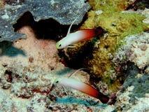 Pesci del ghiozzo fotografia stock