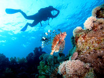 Pesci del leone Immagine Stock