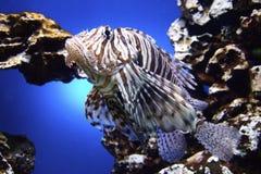 Pesci del leone Fotografie Stock