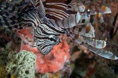 Pesci del leone Fotografia Stock