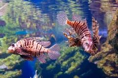 Pesci del leone Immagini Stock Libere da Diritti