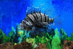 Pesci del leone Immagini Stock