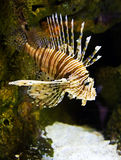 Pesci del leone Fotografia Stock Libera da Diritti
