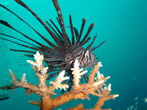 Pesci del leone su Coral Fotografia Stock Libera da Diritti