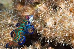 Pesci del mandarino Fotografia Stock