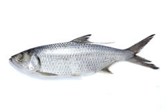 Pesci del Mugilidae Immagine Stock