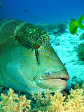 Pesci del Napoleon Fotografia Stock Libera da Diritti