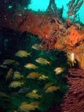 Pesci del naufragio Immagine Stock Libera da Diritti