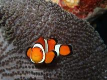 Pesci del pagliaccio immagine stock