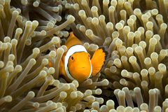 Pesci del pagliaccio Fotografia Stock Libera da Diritti