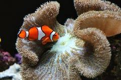 Pesci del pagliaccio Immagini Stock