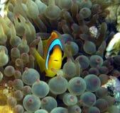 Pesci del pagliaccio in anemone viola Fotografia Stock
