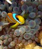 Pesci del pagliaccio in anemone viola Fotografie Stock Libere da Diritti