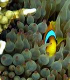 Pesci del pagliaccio in anemone viola Fotografia Stock Libera da Diritti