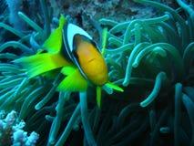 Pesci del pagliaccio che difendono il suo anemone nel Mar Rosso Immagini Stock