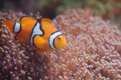 Pesci del pagliaccio con il Anemone di mare Immagine Stock
