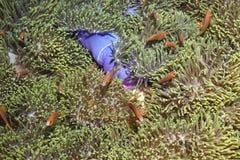 Pesci del pagliaccio dei nigripes del Amphiprion Fotografia Stock