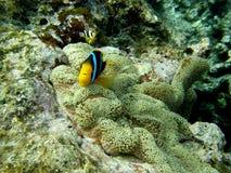 Pesci del pagliaccio del Anemone di Clarkes nel anemone della moquette Fotografia Stock