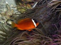Pesci del pagliaccio del pomodoro del fuoco in anemone viola Fotografia Stock Libera da Diritti
