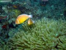Pesci del pagliaccio della moffetta in anemone Fiji Fotografia Stock