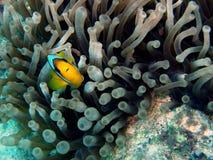 Pesci del pagliaccio di Clarkes in anemone Immagine Stock