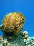 Pesci del pagliaccio e del Anemone Immagine Stock Libera da Diritti