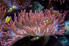 Pesci del pagliaccio ed anemone di mare fotografia stock