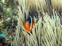Pesci del pagliaccio nel anemone dentellare di punta Fotografie Stock