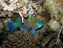 Pesci del pappagallo che si nascondono alla notte - alto vicino Immagine Stock