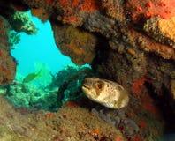 Pesci del pesce palla Immagini Stock Libere da Diritti