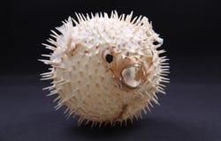 Pesci del pesce palla Immagini Stock