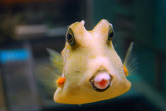 Pesci del pesce palla Fotografia Stock