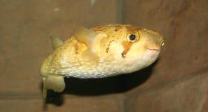 Pesci del pesce palla Fotografie Stock