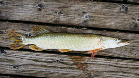 Pesci del Pike Fotografie Stock