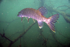 Pesci del Pike Fotografia Stock