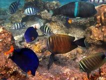 Pesci del Sea1 rosso Fotografie Stock