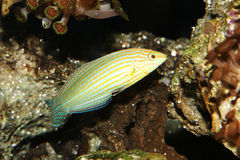 Pesci del wrasse di Melanurus Immagini Stock
