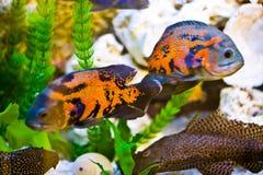 Pesci dell'acquario Immagini Stock Libere da Diritti
