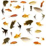Pesci dell'acquario Immagine Stock