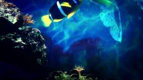 Pesci dell'acquario che fanno galleggiare primo piano stock footage