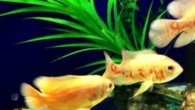 Pesci dell'acquario che fanno galleggiare primo piano archivi video