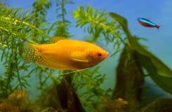 Pesci dell'acquario di gorami nero del miele Immagine Stock