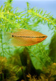Pesci dell'acquario di gorami nero della perla Fotografia Stock