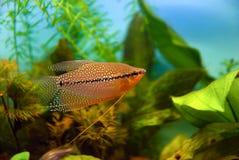 Pesci dell'acquario, gorami nero della perla Fotografia Stock